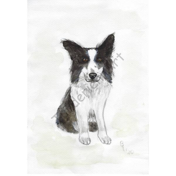 Kutya kép - Border collie